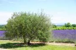 80-godišnjakinja na javnoj površini ispilila dva stabla maslina i stablo oleandra i zaradila kaznenu prijavu