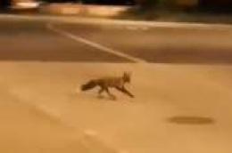 Video snimio čitatelj: Lisice se šeću Vodicama kao mačke