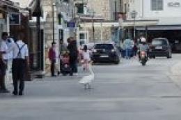 Netipična razglednica iz Vodica: Labud bez straha prošetao rivom i navratio do pekare