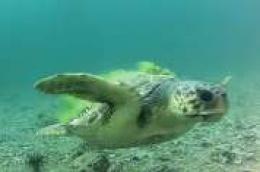 """Glavata želva ponovno """"posjetila"""" podvodnu kameru na Martinskoj"""