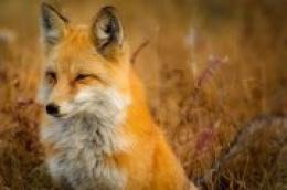 Započela jesenska kampanja oralne vakcinacije lisica