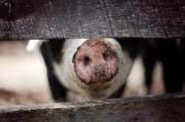 Šibensko-kninska županija u suradnji s Ministarstvom poljoprivrede organizira predavanje na temu Afričke svinjske kuge