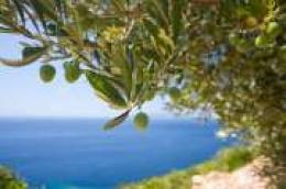 PZB Dalmacija Eko projekt nudi uslugu berbe Maslina u vašim maslinicima