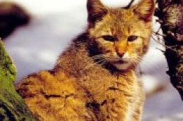 """U Nacionalnom parku """"Krka"""" spašena divlja mačka, strogo zaštićena europska vrsta"""